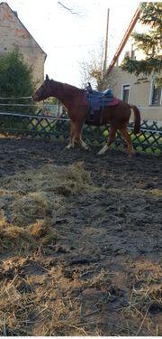 Quarterhorse Stute Beisteller
