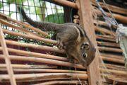 Chinesische Baumstreifenhörnchen (Tamiops