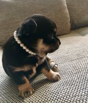 Wunderschöne Chihuahua Welpe