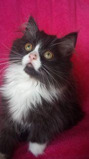 Perser Kitten Baby