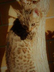 Bengal Kitten männlich