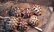 Griechische Landschildkröten (THH