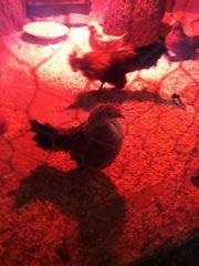 Holländische Zwerghühner