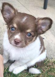 Reinrassige Chihuahuawelpen (Langhaar)