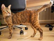 Chausie Katze ähnlich wie Savannah