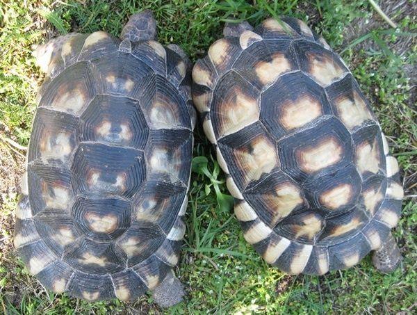 Weibliche Breitrandschildkröten mit 1600 und