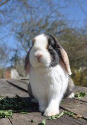 Zwergwidder Kaninchen Dame