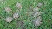 Vierzehen Landschildkröten von