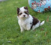 Yorkshire Terrier - Biro Rüde Welpe