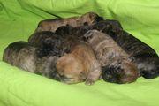Bildschöne Cairn Terrier