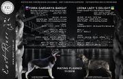 Osteuropäische Schäferhund Welpen - FCI - DNA