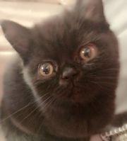 Baby-Kätzchen Bkh-
