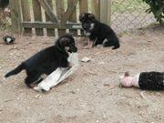 Schäferhunde Welpen