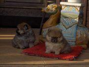 Zwergspitz Pomeranian mini Welpe Teddy