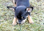 Chihuahua Hündin Welpen reinrassig