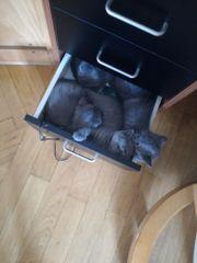 Kätzchen Britische Kurzhaarige