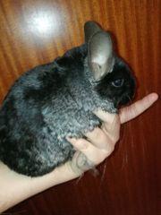 Chinchilla weibchen ebony