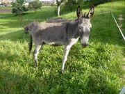 Esel Wallach