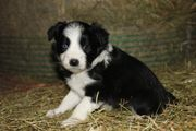 Border Collie - Welpen Reinrassig in