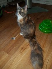 Maine Coon Sunny sucht dringend