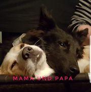 BorderColli Bernersennen Schäferhund Mix Welpen