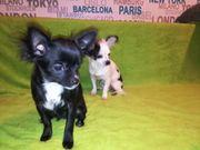 Roxy langhaar Chihuahua