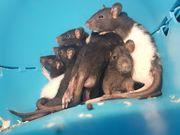 Babybuben 7 Farbratten Böcke - Ratten