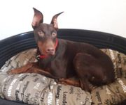 Dobermann Mix