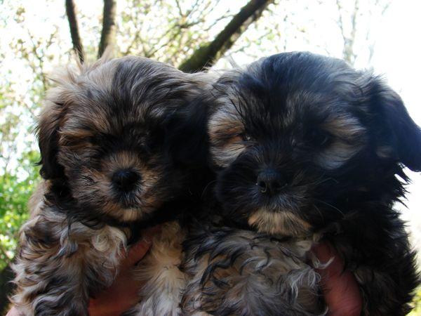 BOOMER welpen ( MALTESER » Hunde