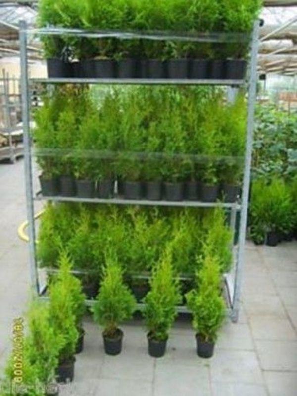 50 Stück Thuja brabant Lebensbaum Heckenpflanzen immergrün 20-30 in ...