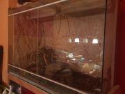 Terrarium mit Königspython zu verschenken