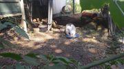 Suche männliches Kaninchen