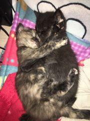 Baby Katzen Perser