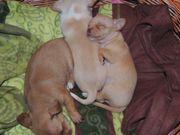 Chihuahua mini Welpen