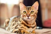 1 Süße Bengal katze