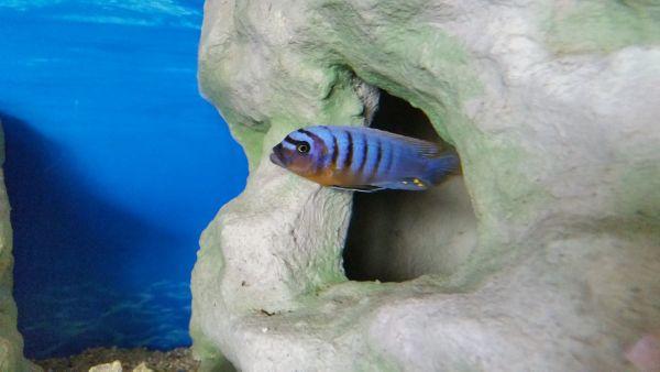 Buntbarsch arten kleinanzeigen aquaristik kaufen for Kleine zierfische