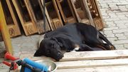 Labrador/Bernersennen Rüde