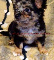 Süße Chihuahuawelpen