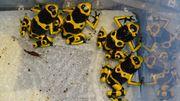 Gebänderter Färberfrosch Dendrobates leucomelas
