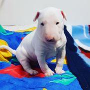 Miniatur Bullterrier ganz in weiß
