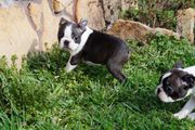 Boston-Terrier-Welpen