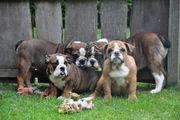 Vorwitzige Englische Bulldoggen