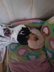 Chihuahua männliche Welpen