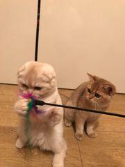 Scottish Fold Kätzchen