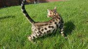 Bengal Katze / Bengal
