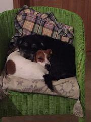 3 Havanesen-Terrier-