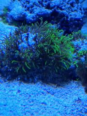 Korallen Meerwasser Affenhaar Anfängerkoralle