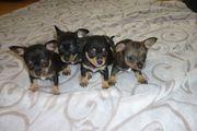 Chihuahua Babys kurzhaar