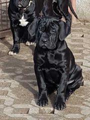 Dogo canario Welpen (