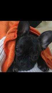 Französische Bulldogge 1